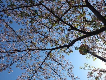 桜 2020年4月11日