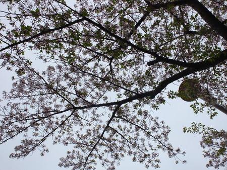 桜 2020年4月12日