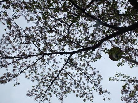 桜 2020年4月13日