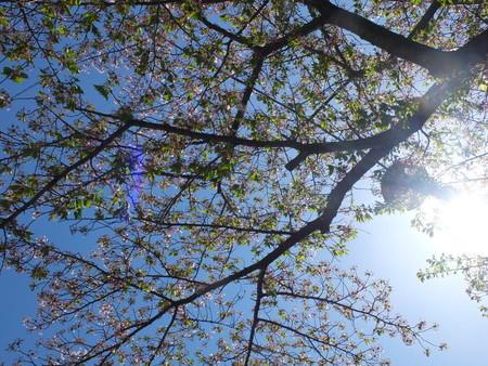 桜 2020年4月14日