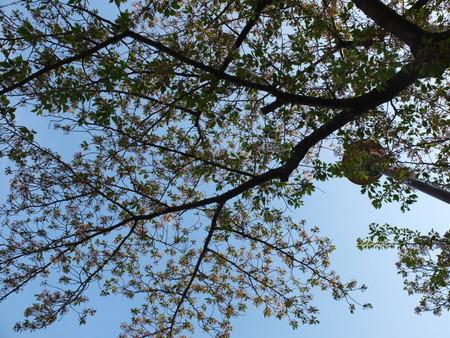 桜 2020年4月15日
