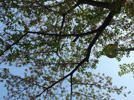 桜 2020年4月16日