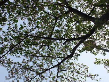 桜 2020年4月17日