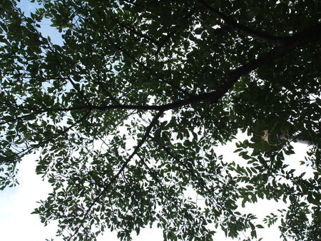 桜 2020年7月15日
