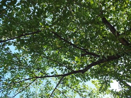 桜 8月6日 ペリドット