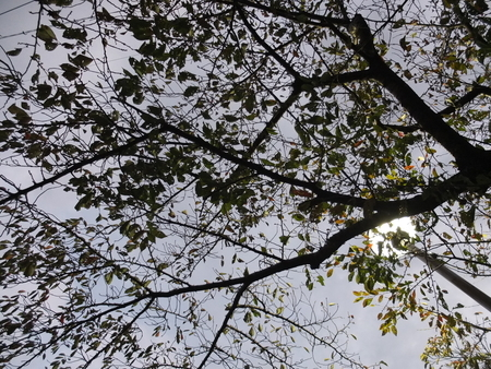 桜 2020年11月3日