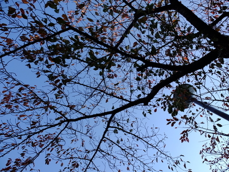 桜 2020年11月17日