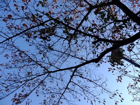 桜 2020年11月18日