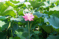 デジイチ初心者がNikon D610で撮影した写真(花2 蓮の花)