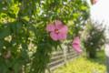 デジイチ初心者がNikon D610で撮影した写真(花1 ムクゲ)