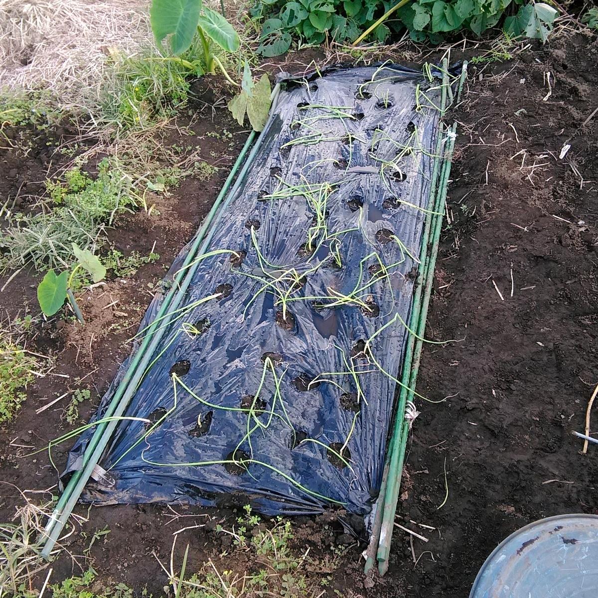 タマネギの植え付け