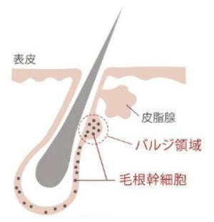 バルジ領域の毛母細胞を固める