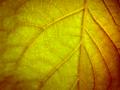 [葉っぱ][葉脈][緑][グリーン][フリー写真][加工自由][商用利用可][フリー素材]http://pelo12345.blog88.fc2.com/