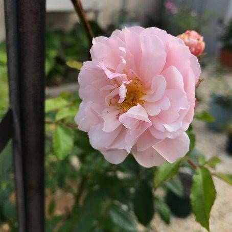 コーネリア 二番花