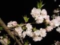 [植物][桜]