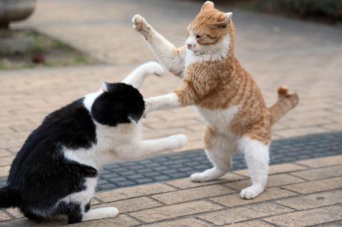 「猫の喧嘩」の画像検索結果