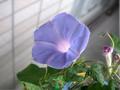 [plants]甥っ子のアサガオ