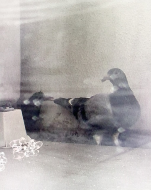 f:id:pigeon_pipipopo:20190801232659j:plain