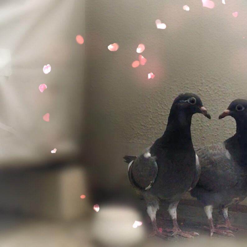 f:id:pigeon_pipipopo:20190813214452j:plain