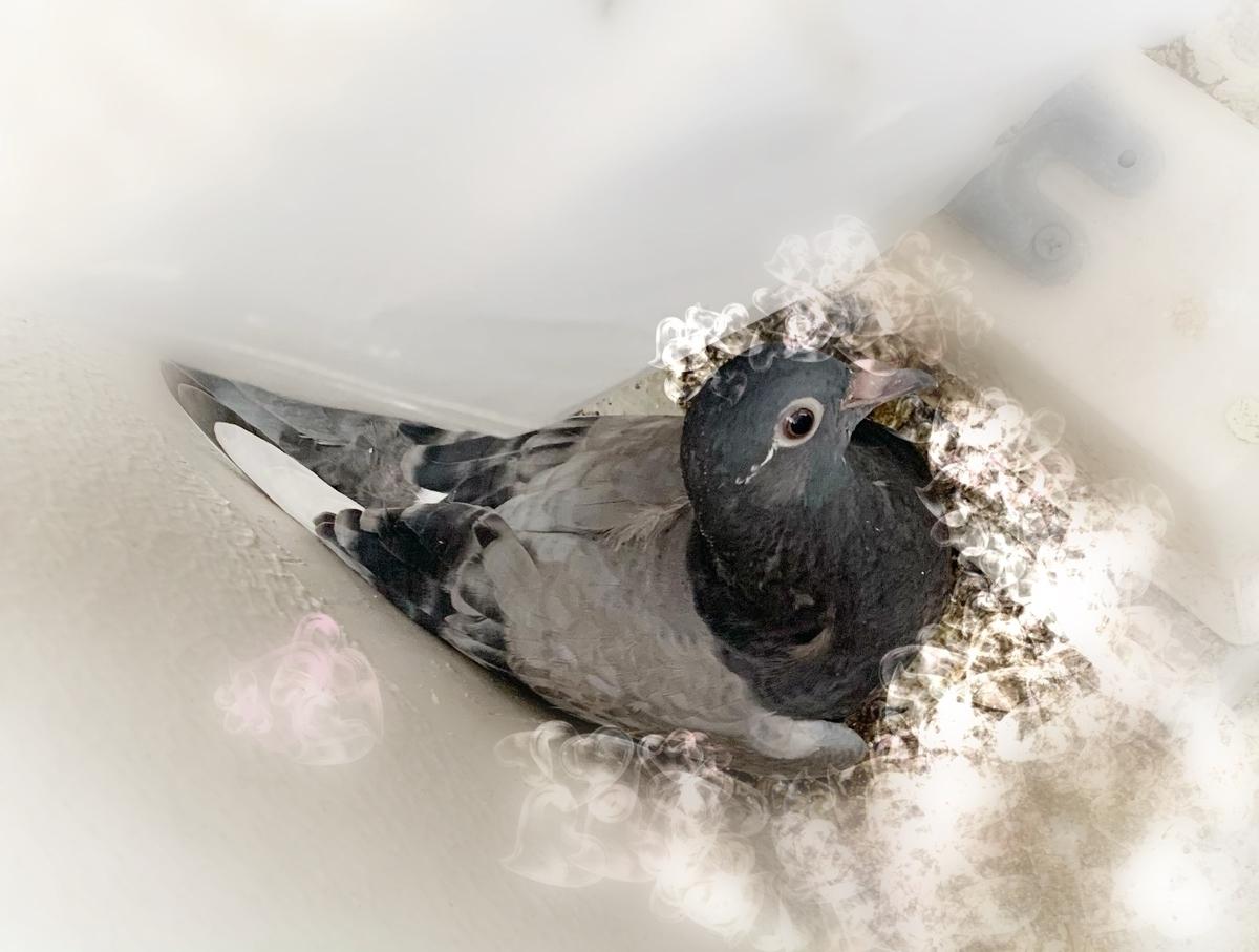 f:id:pigeon_pipipopo:20190814233435j:plain