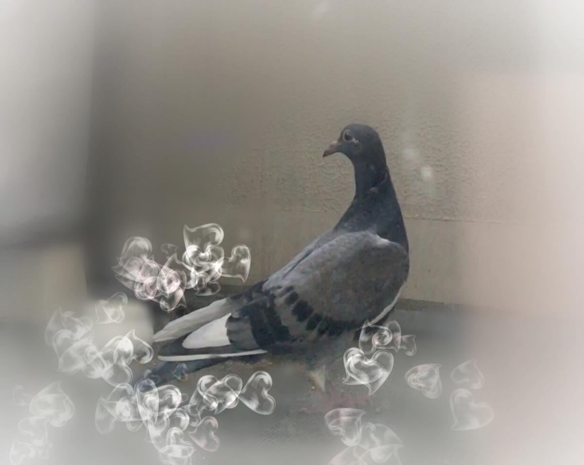f:id:pigeon_pipipopo:20190814235041j:plain