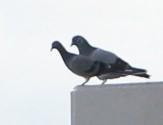 f:id:pigeon_pipipopo:20190819234314j:plain