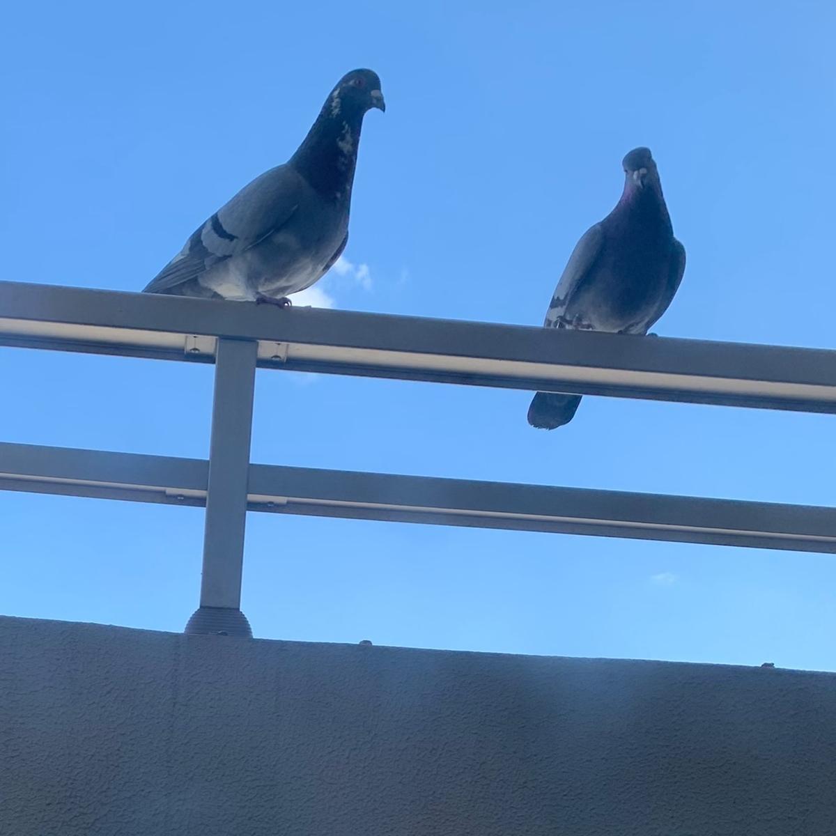f:id:pigeon_pipipopo:20200429102013j:plain