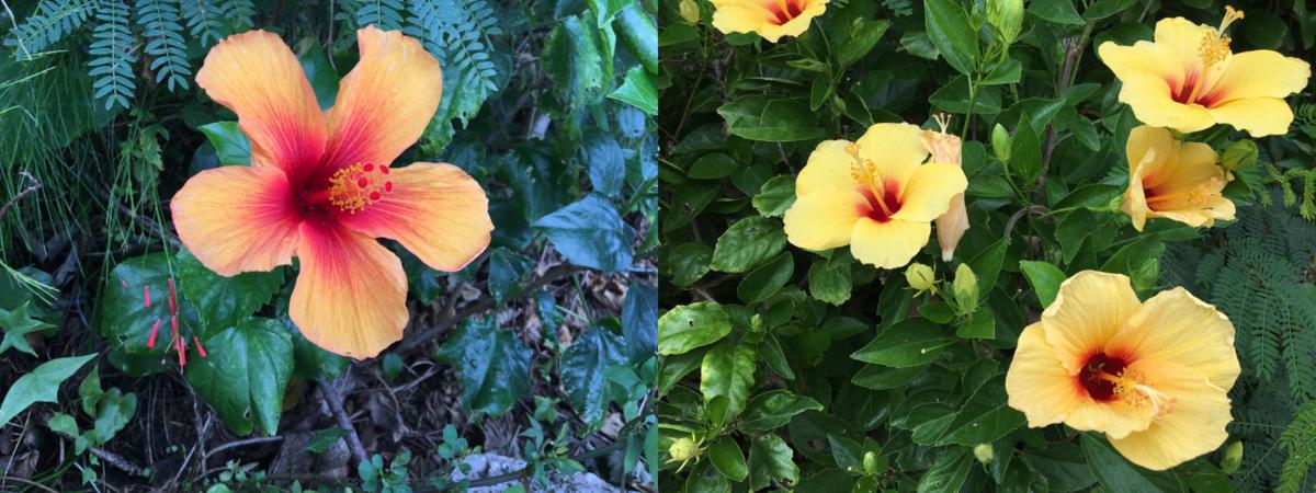 Hibiscus flowers 1