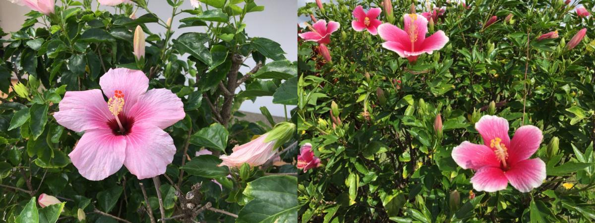 Hibiscus flowers 2