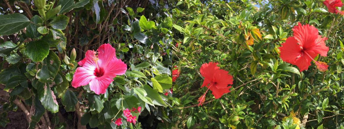 Hibiscus flowers 3