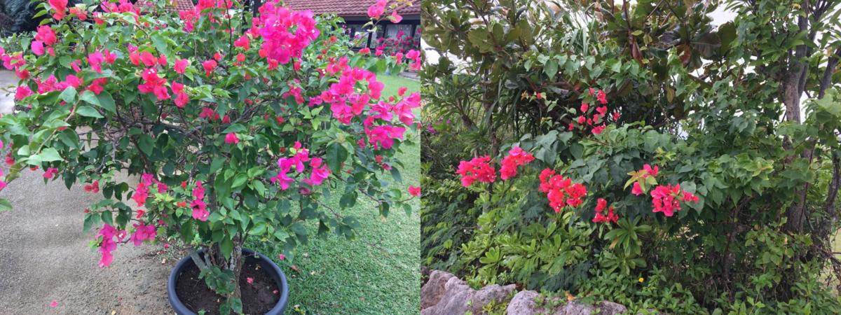 Bougainvillea flowers 2