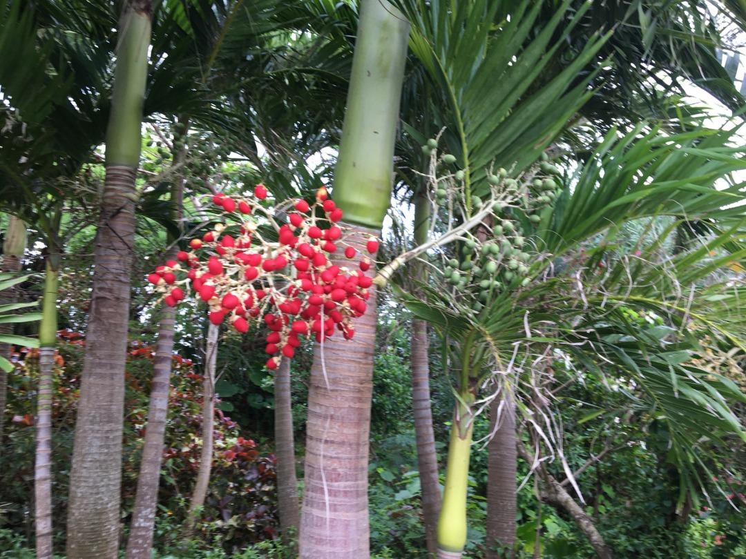 Manila palm