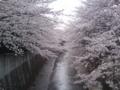 [桜][川と橋]