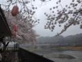 [桜][羽村堰]羽村堰