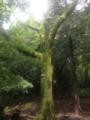 [公園]石神井公園のヤマザクラ