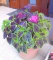 「コリウス」という名のよく分からん植物