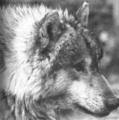 昭和初期に絶滅したニホンオオカミ狼の最後の1頭・エゾオオカミと別