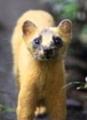 近隣で見かけるニホンイタチ鼬