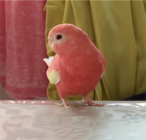 アキクサインコの飼育って⁇ - ピンク色のインコと私のブログ