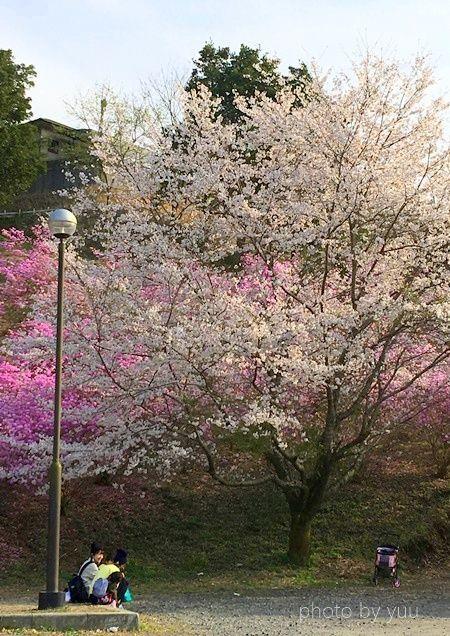 ミツバツツジが見れる花見スポット