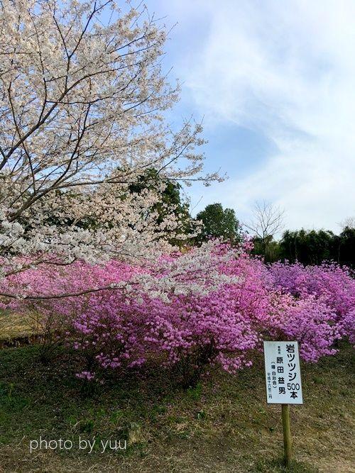 ミツバツツジ(岩つつじ)花見スポット