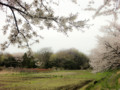 見沼代用水東縁桜並木から田圃を望む