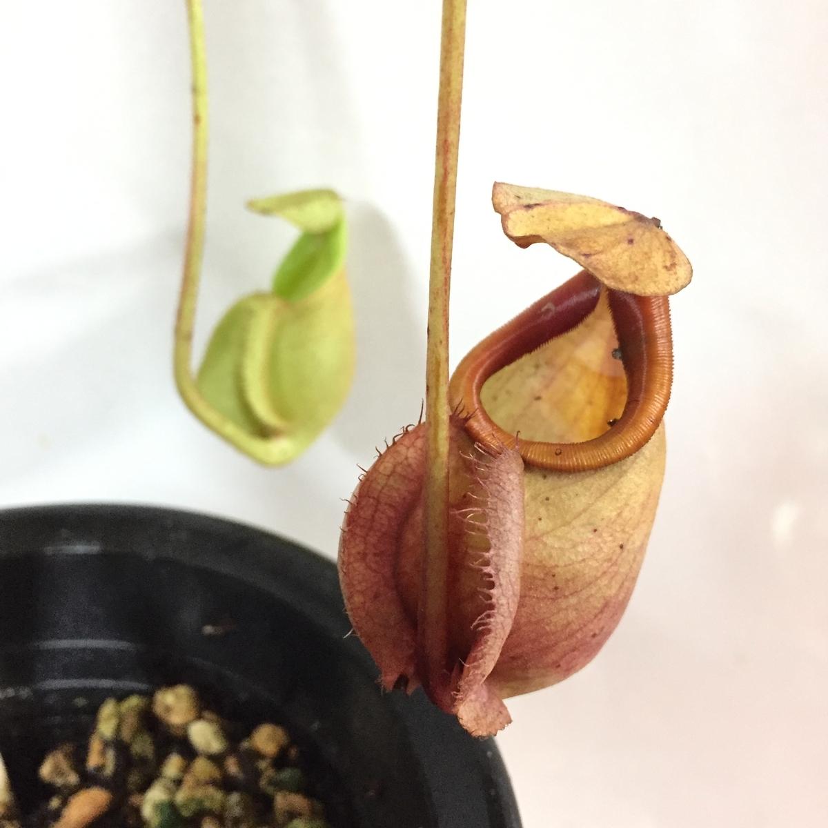 f:id:pitcherplant:20191112120436j:plain
