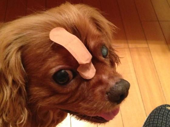 犬の白内障手術の費用はこれだけかかりました