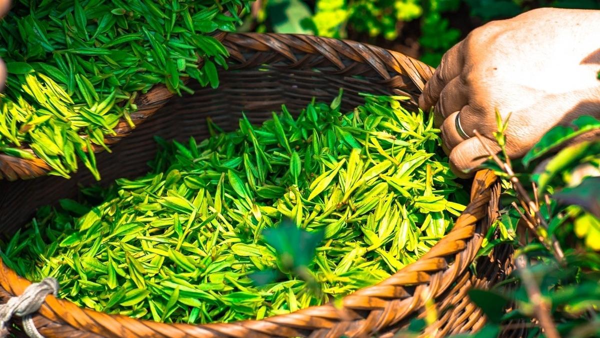 ギャバロン茶は中性脂肪の数値に効果がある?!