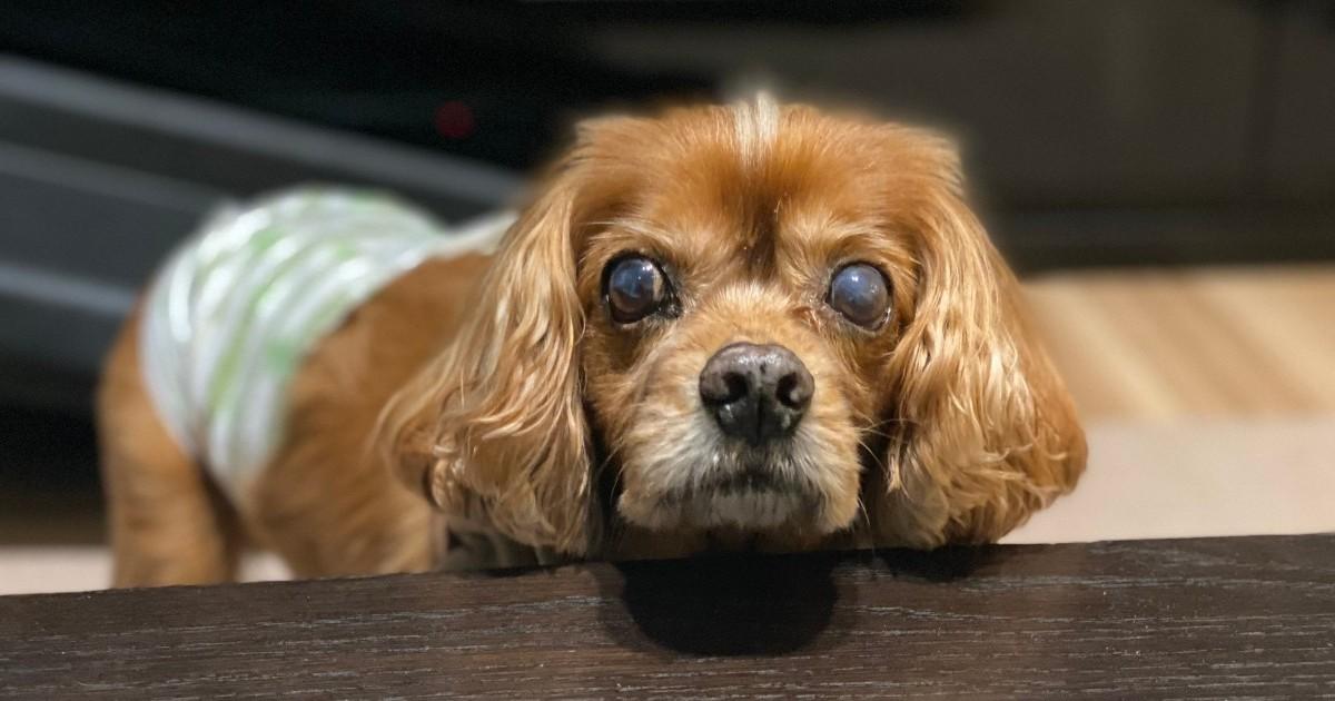 愛犬コジロウ、前立腺癌からまだまだ戦います【ブログ200記事目】