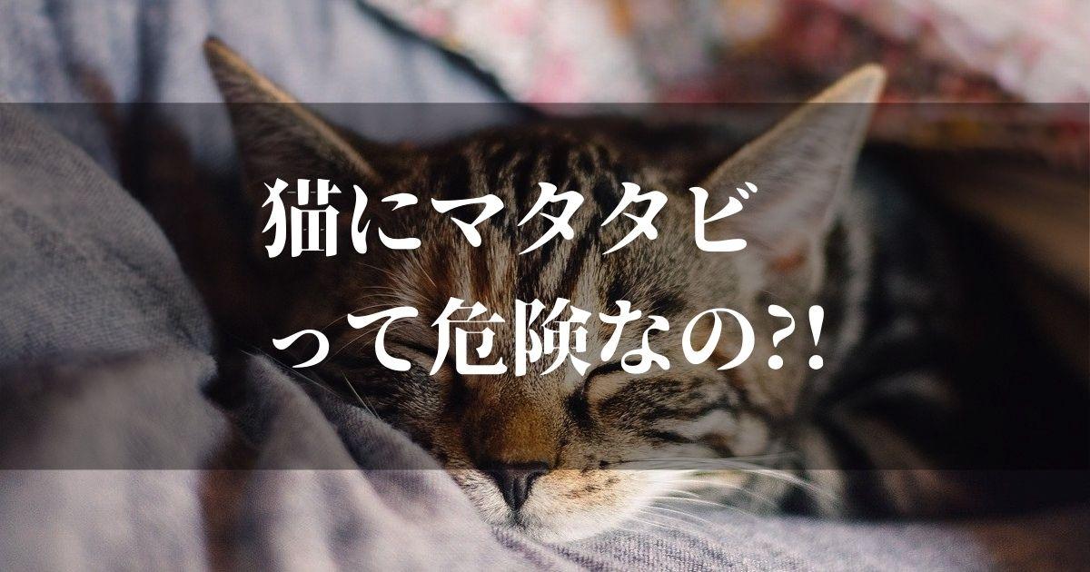 猫にマタタビっていうけど実は危険性がある?!【後悔しないために知っておくべきこと】