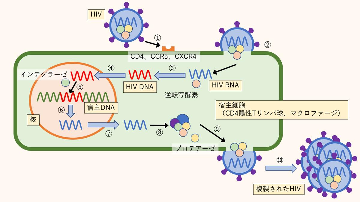 HIVの増殖メカニズム