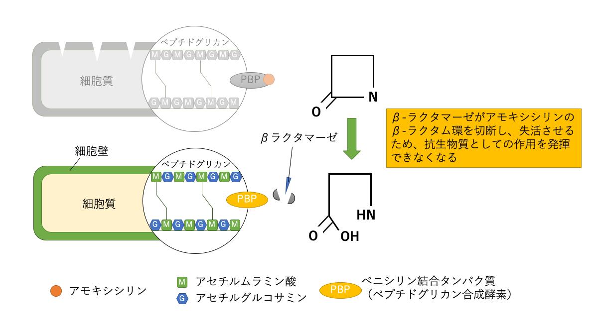 β-ラクタマーゼとアモキシシリン