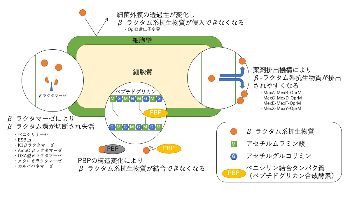 β-ラクタム系抗生物質に対する耐性機構